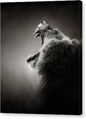 Lion Displaying Dangerous Teeth Canvas Print