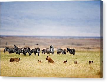 Lion Family Panthera Leo Looking Canvas Print by Panoramic Images