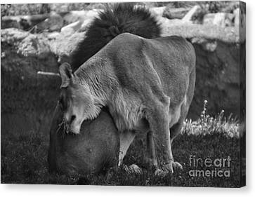Lion Hugs In Black And White Canvas Print by Thomas Woolworth