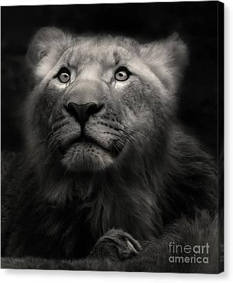 Lion In The Dark Canvas Print