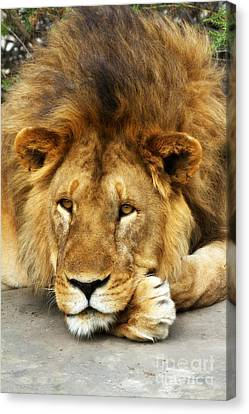 Canvas Print featuring the photograph Lion King Emeritus by Chris Scroggins