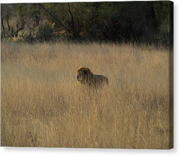 Lion Panthera Leo In Tall Grass That Canvas Print by Panoramic Images