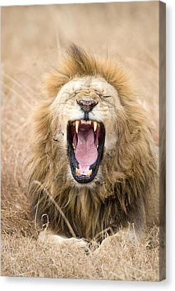 Lion Panthera Leo Yawning In A Forest Canvas Print