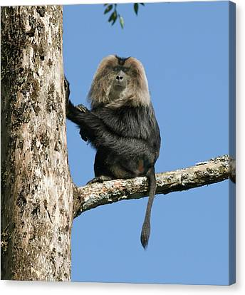 Lion-tailed Macaque Canvas Print by K Jayaram