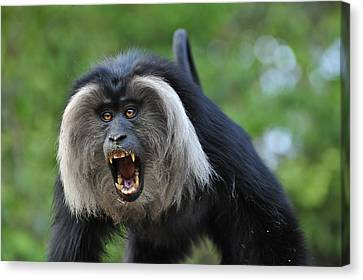 Lion-tailed Macaque Threat Display India Canvas Print by Thomas Marent