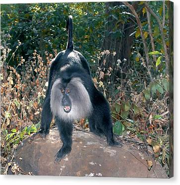 Lion-tailed Macaque Threatening Canvas Print by K Jayaram