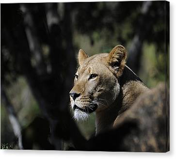 Lion Watching Canvas Print by Keith Lovejoy