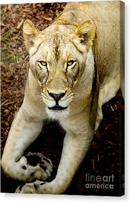 Lion Canvas Print - Lion-wildlife by David Millenheft
