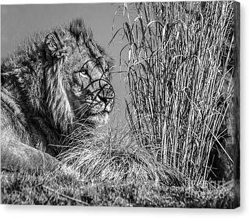 Watching Intently Canvas Print