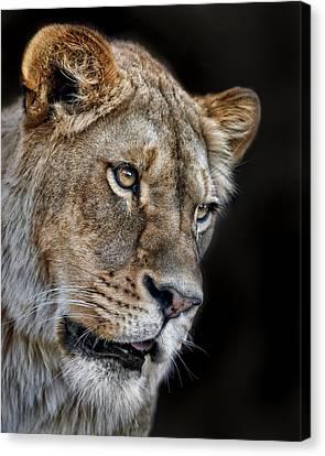 Lioness #2 Canvas Print by Nikolyn McDonald