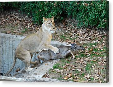 Canvas Print featuring the photograph Lioness And Deer by Eva Kaufman