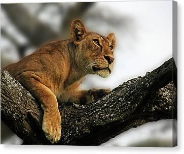 Lioness Canvas Print by Christine Sponchia