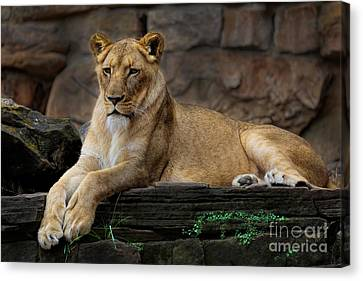 Lioness Canvas Print by D Wallace