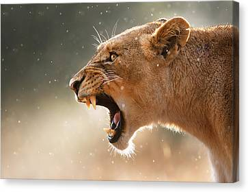 Raindrop Canvas Print - Lioness Displaying Dangerous Teeth In A Rainstorm by Johan Swanepoel
