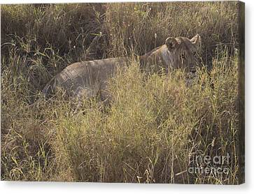 Lioness In Grass Canvas Print
