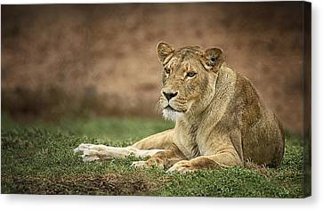 Lioness Canvas Print by Kim Andelkovic