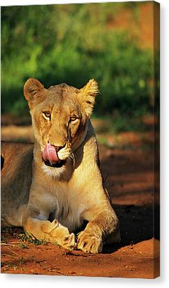 Lioness Licking Lips In The Kapama Game Canvas Print