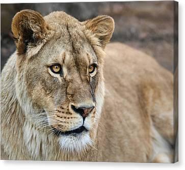 Lioness Canvas Print by Nikolyn McDonald