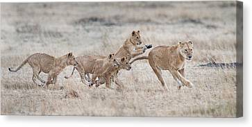 Lioness Panthera Leo And Cubs At Play Canvas Print by Panoramic Images