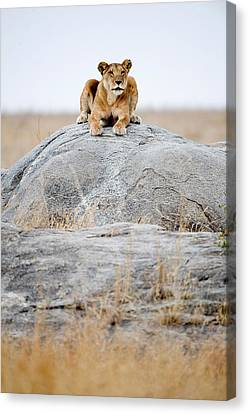 Lioness Panthera Leo Sitting On A Rock Canvas Print by Panoramic Images