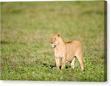 Lioness Panthera Leo Standing Canvas Print by Panoramic Images