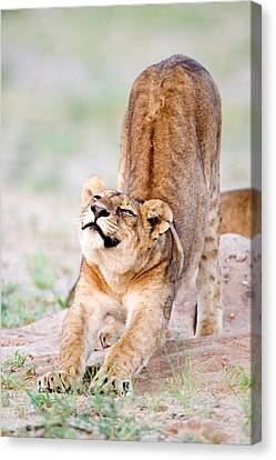 Lioness Panthera Leo Stretching Canvas Print by Panoramic Images