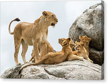 Lioness, Panthera Leo, With Its Cubs Canvas Print