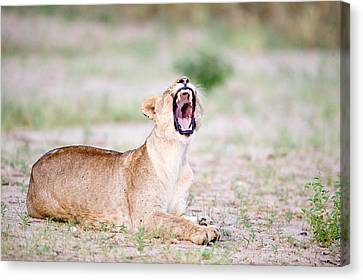 Lioness Panthera Leo Yawning Canvas Print by Panoramic Images