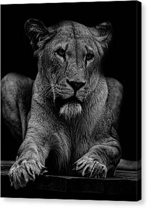 Lioness Portrait Canvas Print by Martin Newman