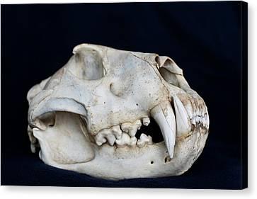 Lioness Skull Canvas Print