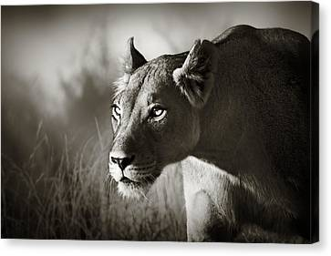 Lioness Stalking Canvas Print by Johan Swanepoel