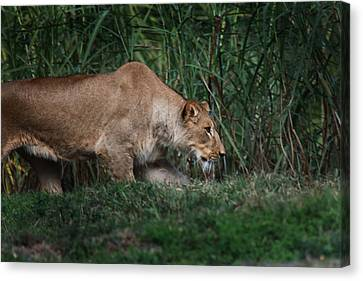 Lioness Stalking Canvas Print by Joseph G Holland