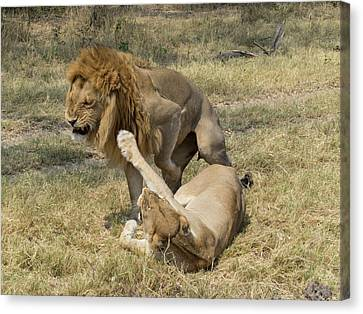 Lioness Taking Swipe At Male Lion Canvas Print