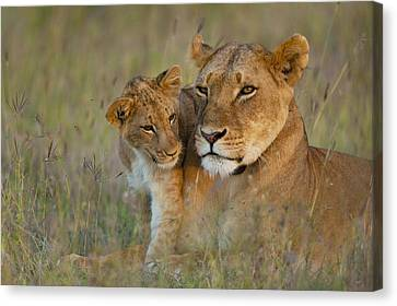 Simple Beauty In Colors Canvas Print - Lioness With Cub At Dusk In Ol Pejeta by Ian Cumming