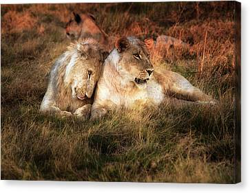 Lioness With Juvenile Male Nuzzling Canvas Print