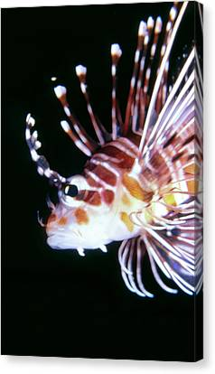 Lionfish 3 Canvas Print by Dawn Eshelman