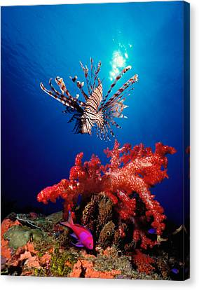 Two Fish Canvas Print - Lionfish Pteropterus Radiata by Panoramic Images