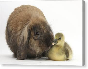 Lionhead Lop Rabbit And Gosling Canvas Print by Mark Taylor