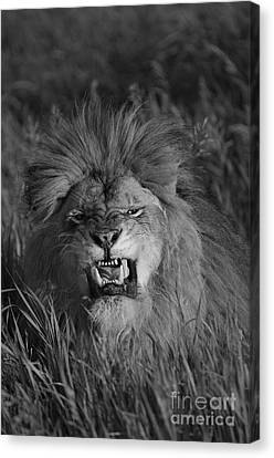 Lions Courage Canvas Print by Wildlife Fine Art