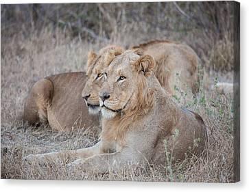 Lions Canvas Print by Craig Brown