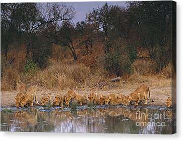 Lions Drinking Canvas Print by Art Wolfe