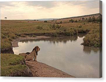 Lions Drinking At Waterside In Maasai Mara Kenya Canvas Print by Bart De Rijk