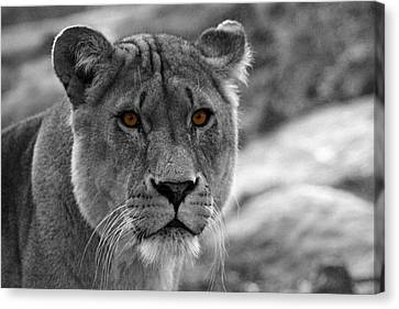 Lions Eyes Canvas Print by Martin Newman