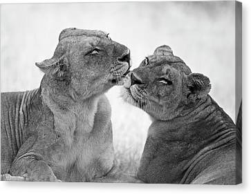 Lioness Canvas Print - Lions In B&w by Marco Pozzi