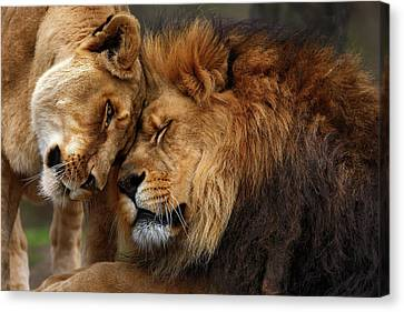 Lions In Love Canvas Print by Emmanuel Panagiotakis