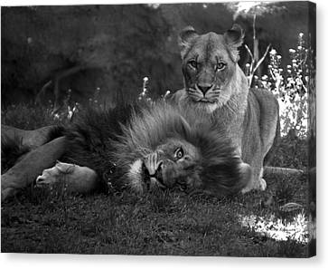 Lions Me And My Guy Canvas Print by Thomas Woolworth