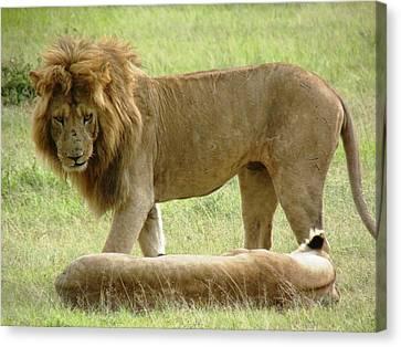 Lions On The Masai Mara Canvas Print by Tony Murtagh
