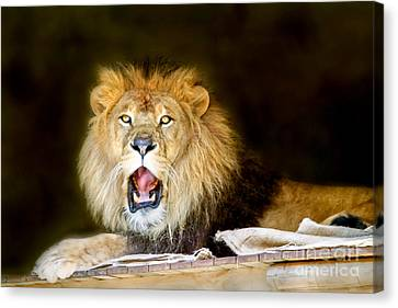 Lion's Pride Canvas Print by Shannon Rogers