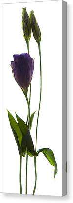 Lisianthus Duo Canvas Print