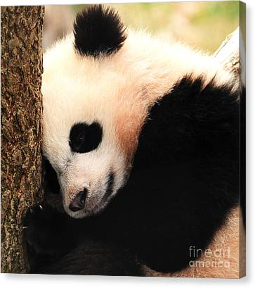 Canvas Print featuring the photograph Little Bear's Favorite Tree by Olivia Hardwicke